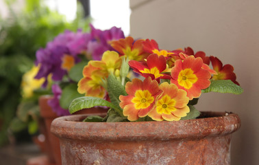 A pot with primulas