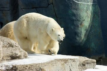 Happy polar bear in the zoo