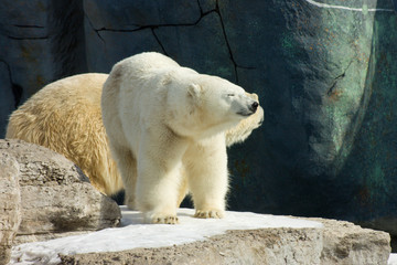 Happy polar bear in the sun