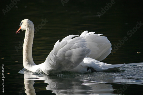 Fotobehang swan on lake