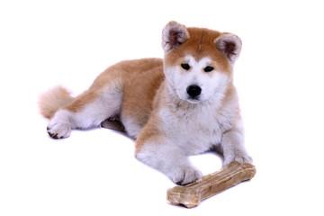 liegender Akita Inu Welpe mit Knochen
