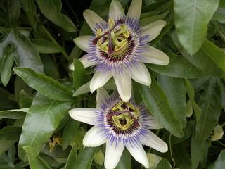 Passiflora fiore della passione