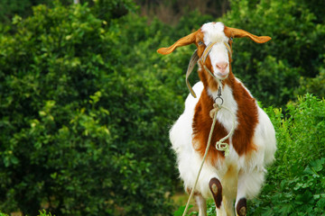 Image of curious hornless goat
