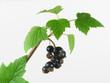 Obstgarten, schwarze Johannisbeeren