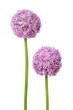 Zwei schöne Allium Blüten