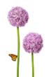 Blumen blüte Allium