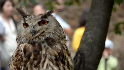 hibou  owl