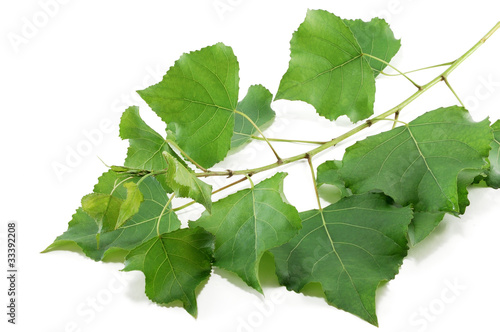 branch poplar trees with green leaves
