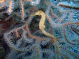 Seahorse - Hippocampus sp. poster