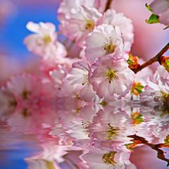 Kirschbaum im Wasser
