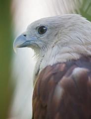Brahminy Kite close up