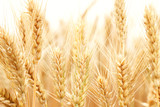 Fototapety Wheat