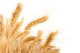 Fototapeta uszy - pszenica - Zboże