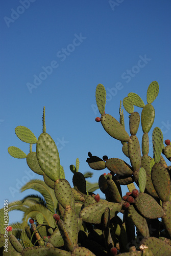 green cactus with red fruits with blue sky background