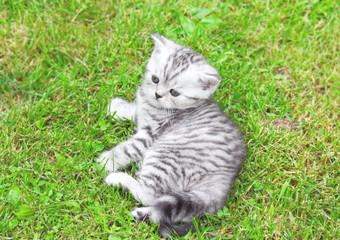 The Briton striped tender grey kitten lying on green grass