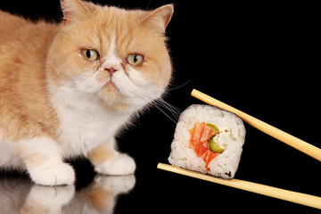 Exotic cat looking at sushi