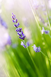 Fototapety Lavande - lavender