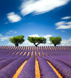 Lavande Provence France / lavender field in Provence, France - Fine Art prints
