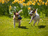 Jack Russell terriers playing fetch poster