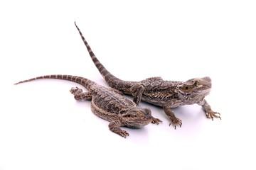 zwei Reptilien Bartagamen seitlich