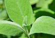 Salbei (Salvia officinalis)