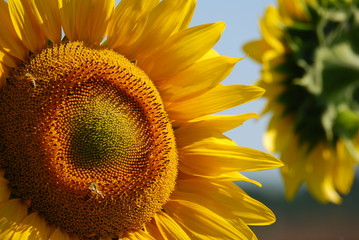 girasole- sunflowers