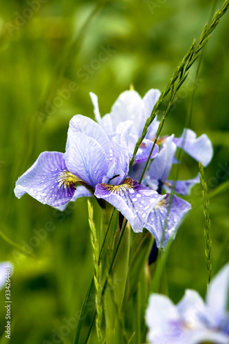 Siberian irises in grass
