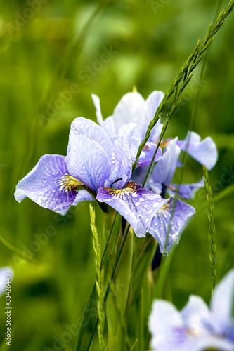 Siberian irises in grass