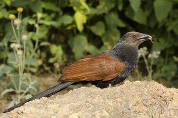 Indian Cuckoo, Rajasthan, India