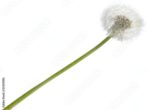 Dandelion against a white background (isolated)
