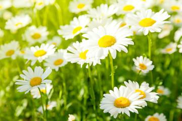 Daisy flower on green meadow