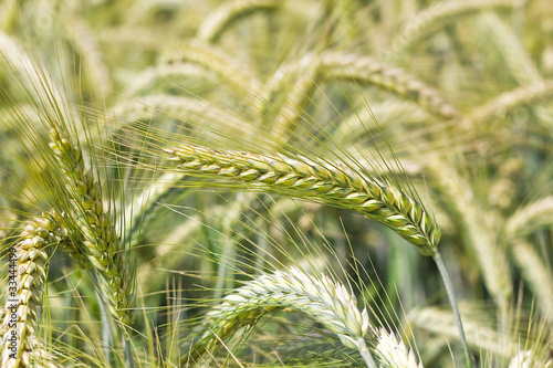Leinwanddruck Bild Junges grünes Getreidefeld