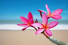 "Постер, картина, фотообои ""Plumeria flowers on the beach"""
