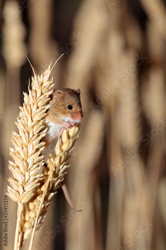 A Harvest Mouse in its Natural Habitat