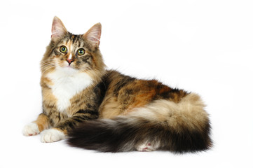 Norwegian forest cat in studio