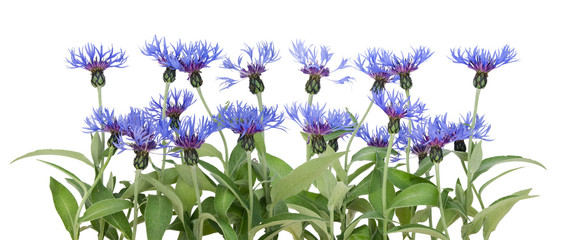 Border from blue cornflowers