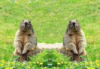 Sfondo marmotte