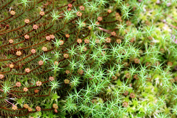 Background of Green Mosses (Polytrichum)