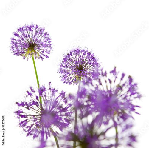 Piękne Allium / abstrakcyjne na białym tle