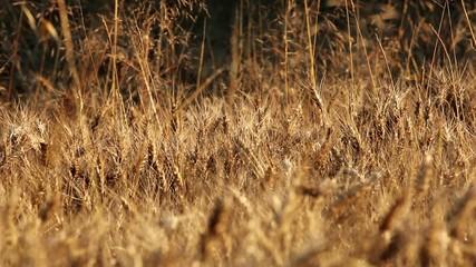 Campo di grano giallo - panoramica