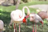 A beautiful Flamingo rubbing its body poster