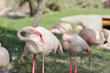 Flamingo rubbing its body to relieve itching poster