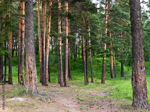 Beautiful summer landscape with pine trees