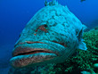 Giant Cod at Great Barrier Reef Australia