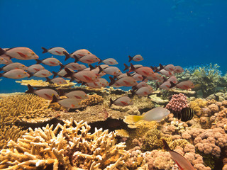 School of fish and coral on Great Barrier Reef Australia