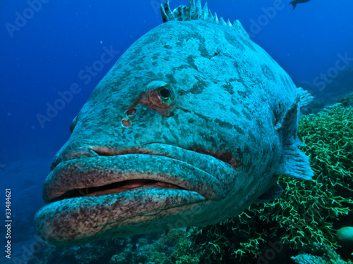 Papiers peints Recifs coralliens Giant Cod at Great Barrier Reef Australia