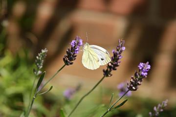 Kohlweißling am Lavendel
