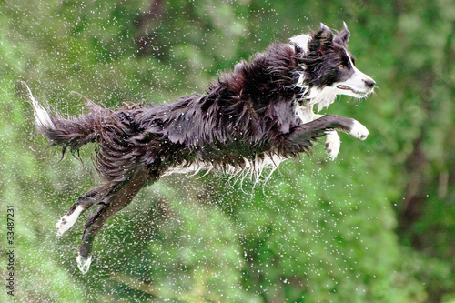 Wet border collie jumping off dock into water