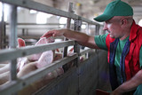 Fototapety Pig Farming
