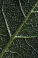 Back of leaf close up